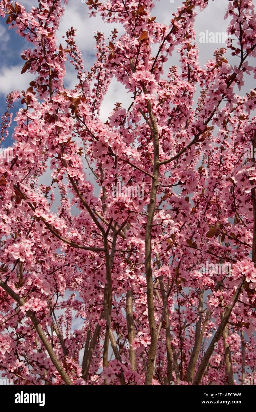 A Branch In Blossom Of A Purpleleaf Plum Prunus Cerasifera Stock