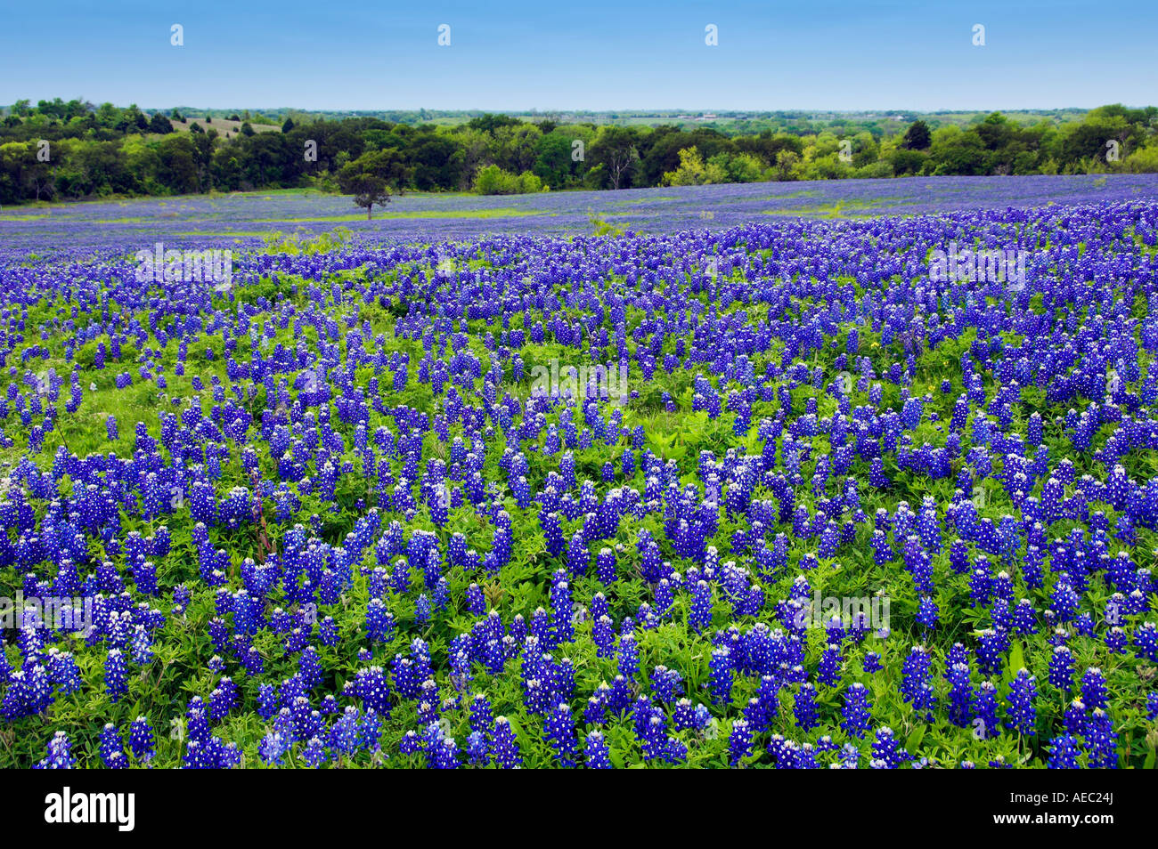 Texas Bluebonnets In A Field Near Ennis Texas Usa Stock Photo