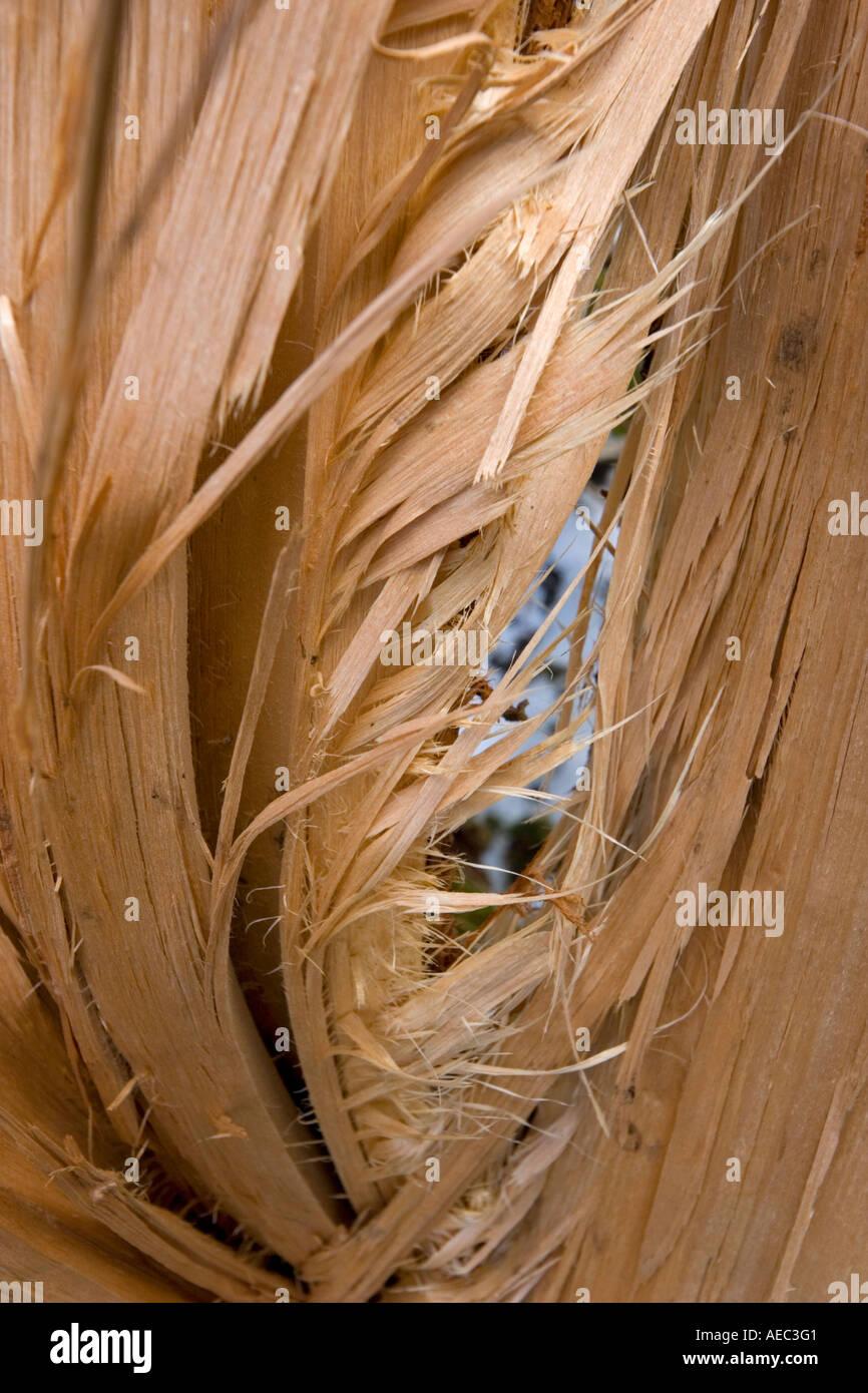 Close-up on a mutilated beech bole in the Chaudefour Valley (France).  Dégâts causés par une avalanche sur un tronc de hêtre. - Stock Image