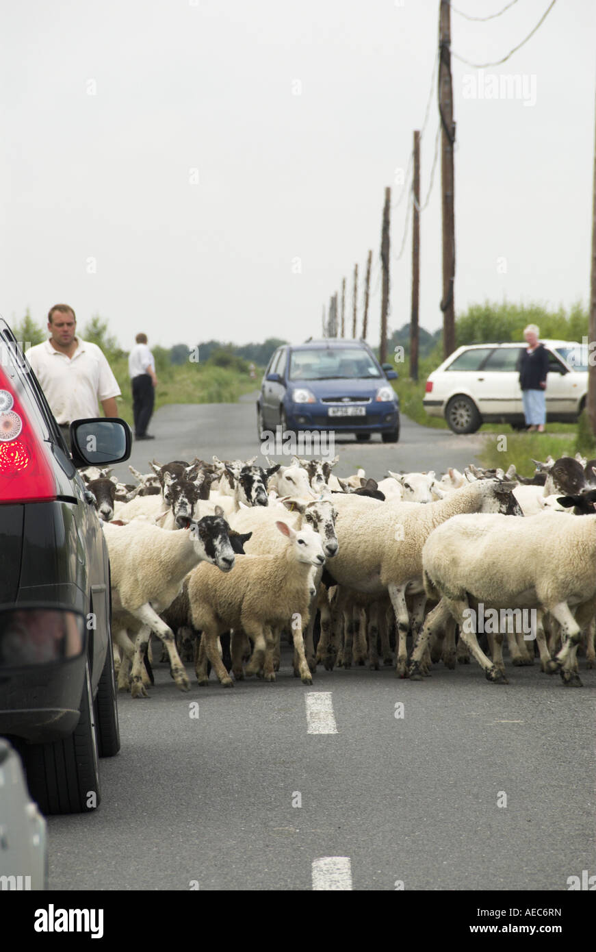 Farmer moving sheep on country road - Stock Image