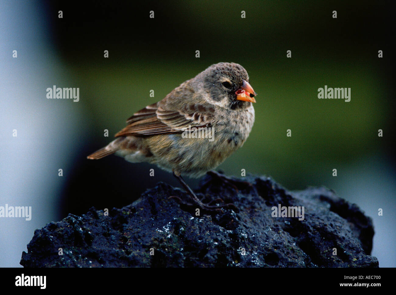 Darwin s Finch bird feeding while on a rock on the Galapagos Islands Ecuador - Stock Image