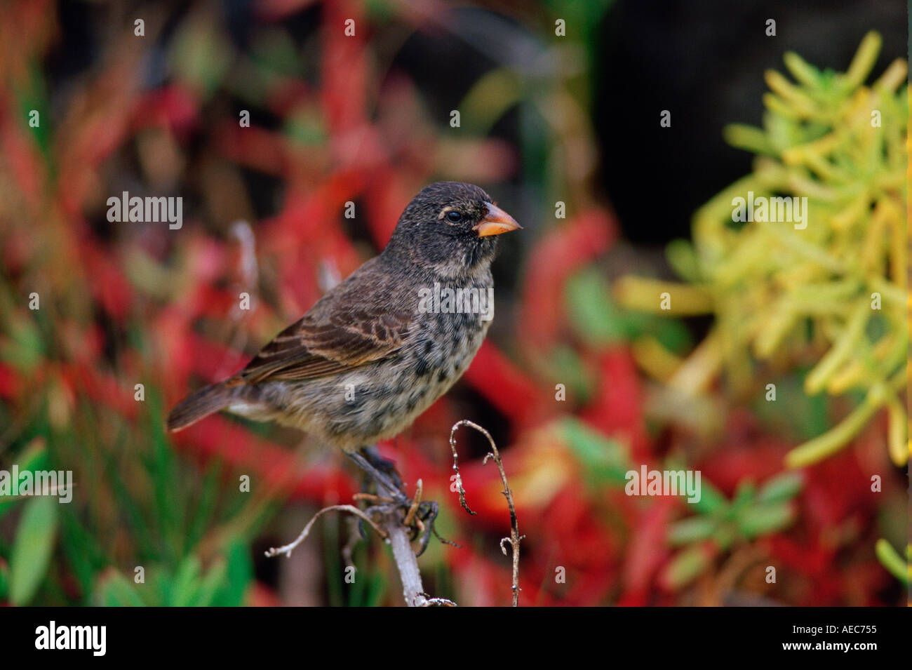 Darwin s Finch bird perched on branch on the Galapagos Islands Ecuador - Stock Image