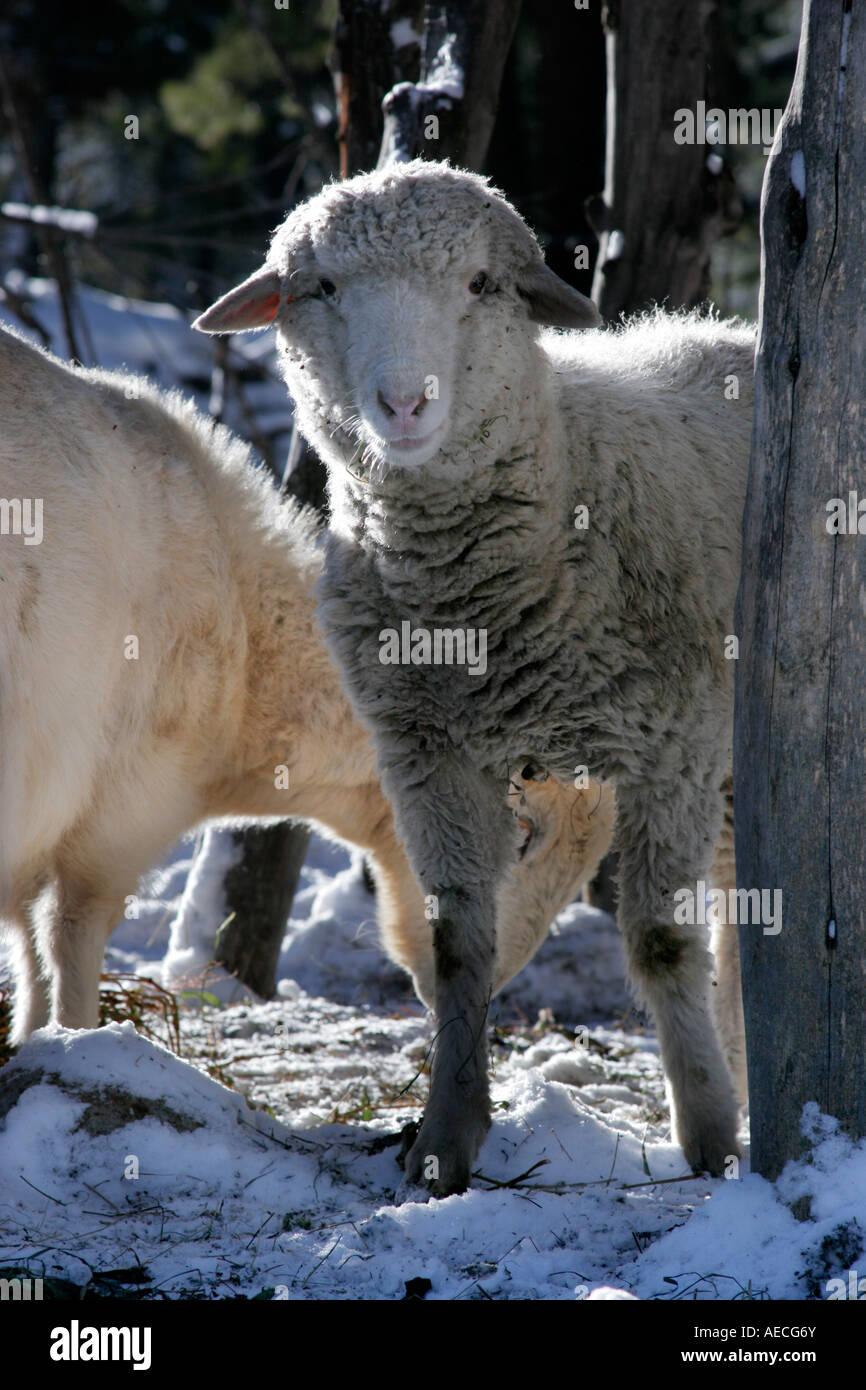 Sheeps curiously looking at the camera during winter season at village Rakcham, Sangla Valley Himachal Pradesh India - Stock Image
