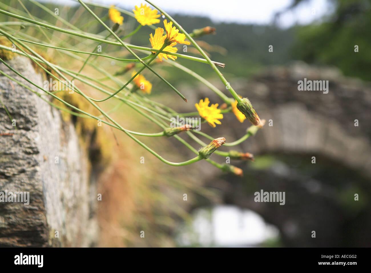 Yellow Flowers Glendalough Wicklow Ireland Stock Photo 7794689 Alamy
