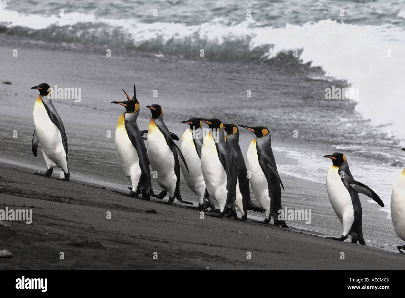 king penguin (Aptenodytes patagonicus), toddling one after another on the beach, Antarctica, Suedgeorgien - Stock Image
