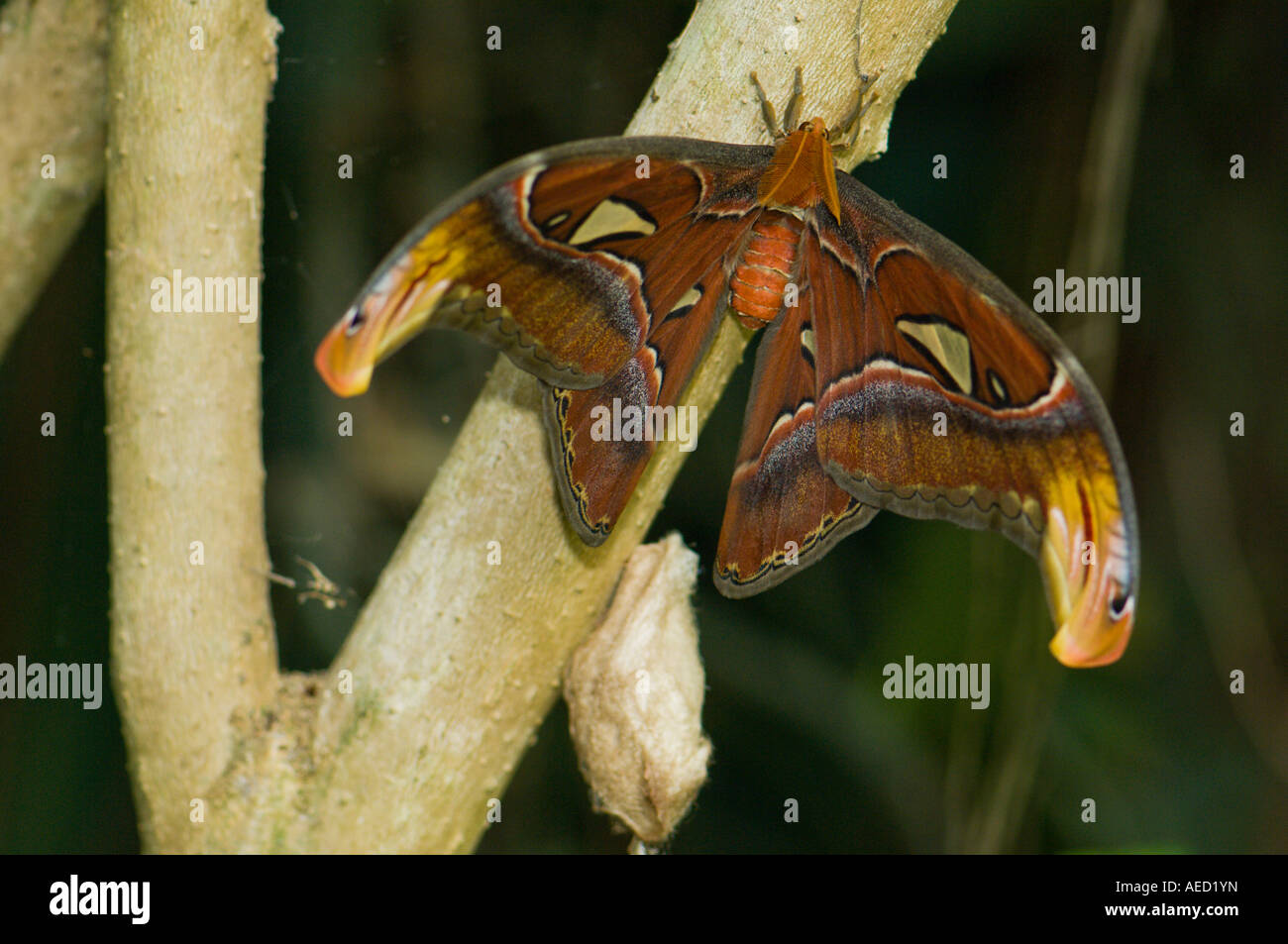 Atlas moth (Attacus atlas), a Saturniidae moth claimed to be the largest butterfly in the world. - Stock Image