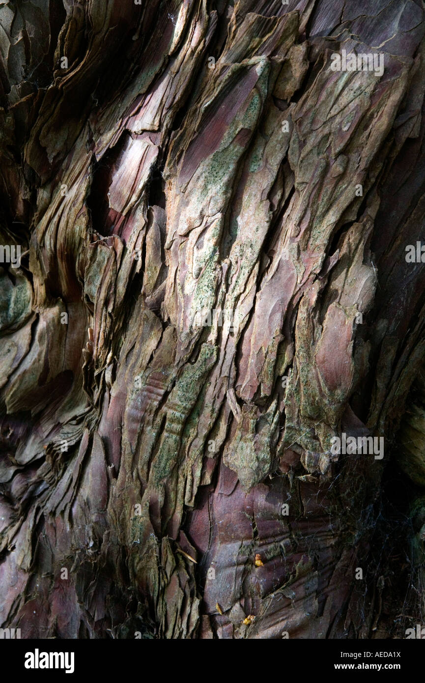 detail of ancient yew bark - Stock Image