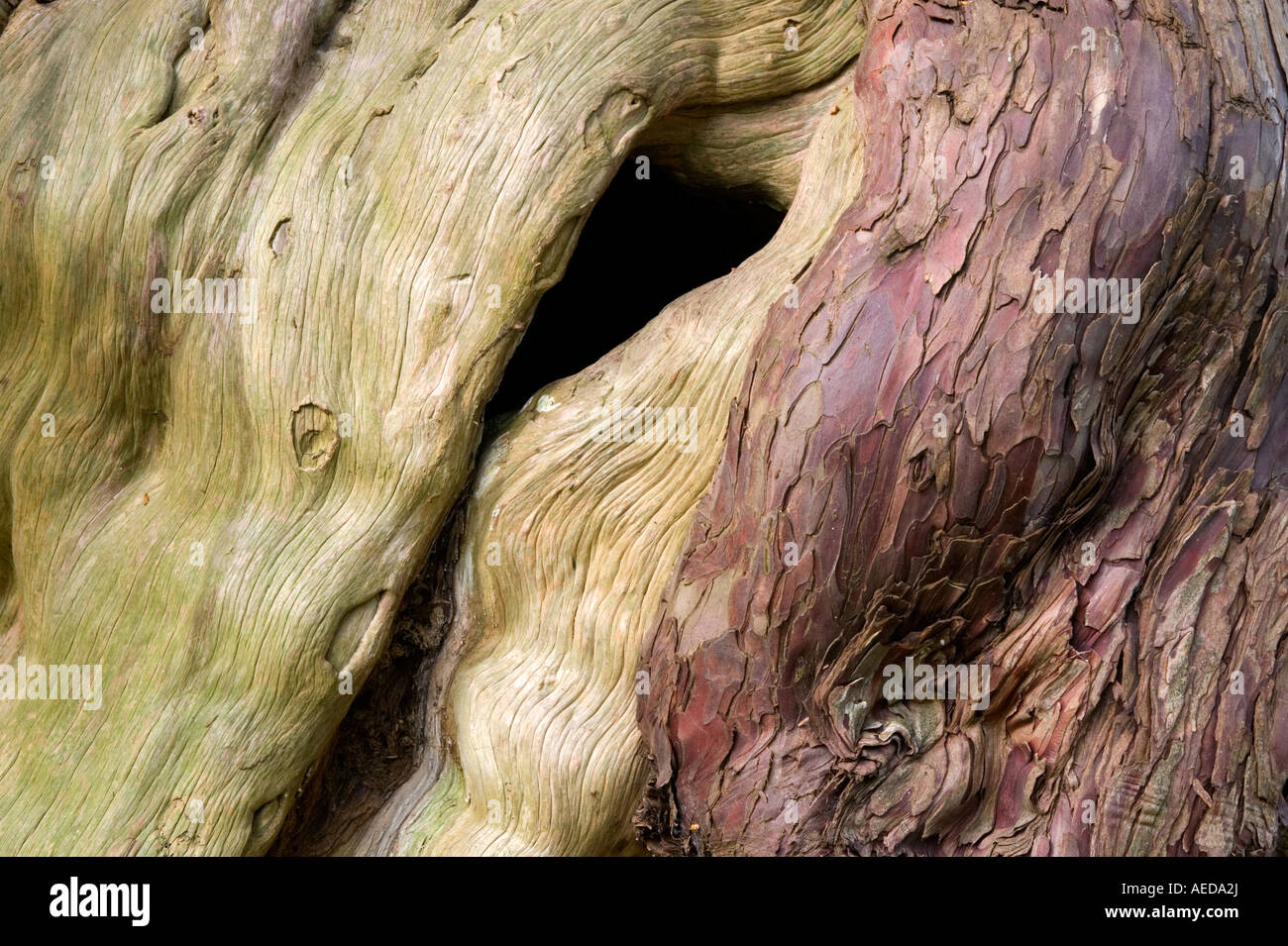 detail of ancient yew tree bark - Stock Image