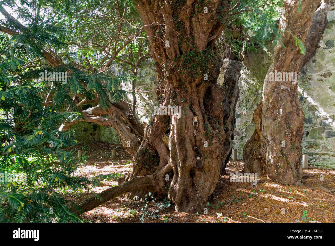 Part of one of the oldest ancient trees in the world the Fortingall Yew more than 4000 years - Stock Image