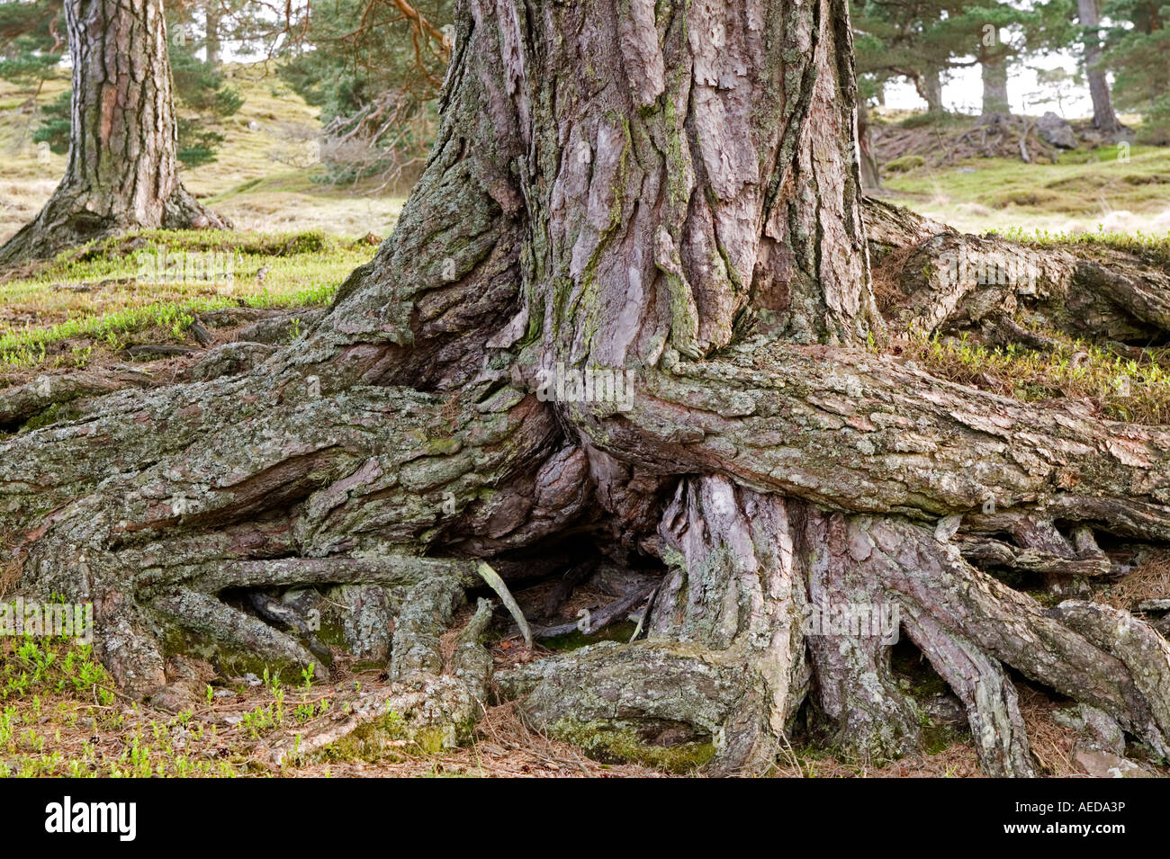 the roots and trunk of a scots pine tree in forest Glen Lyon Scotland - Stock Image