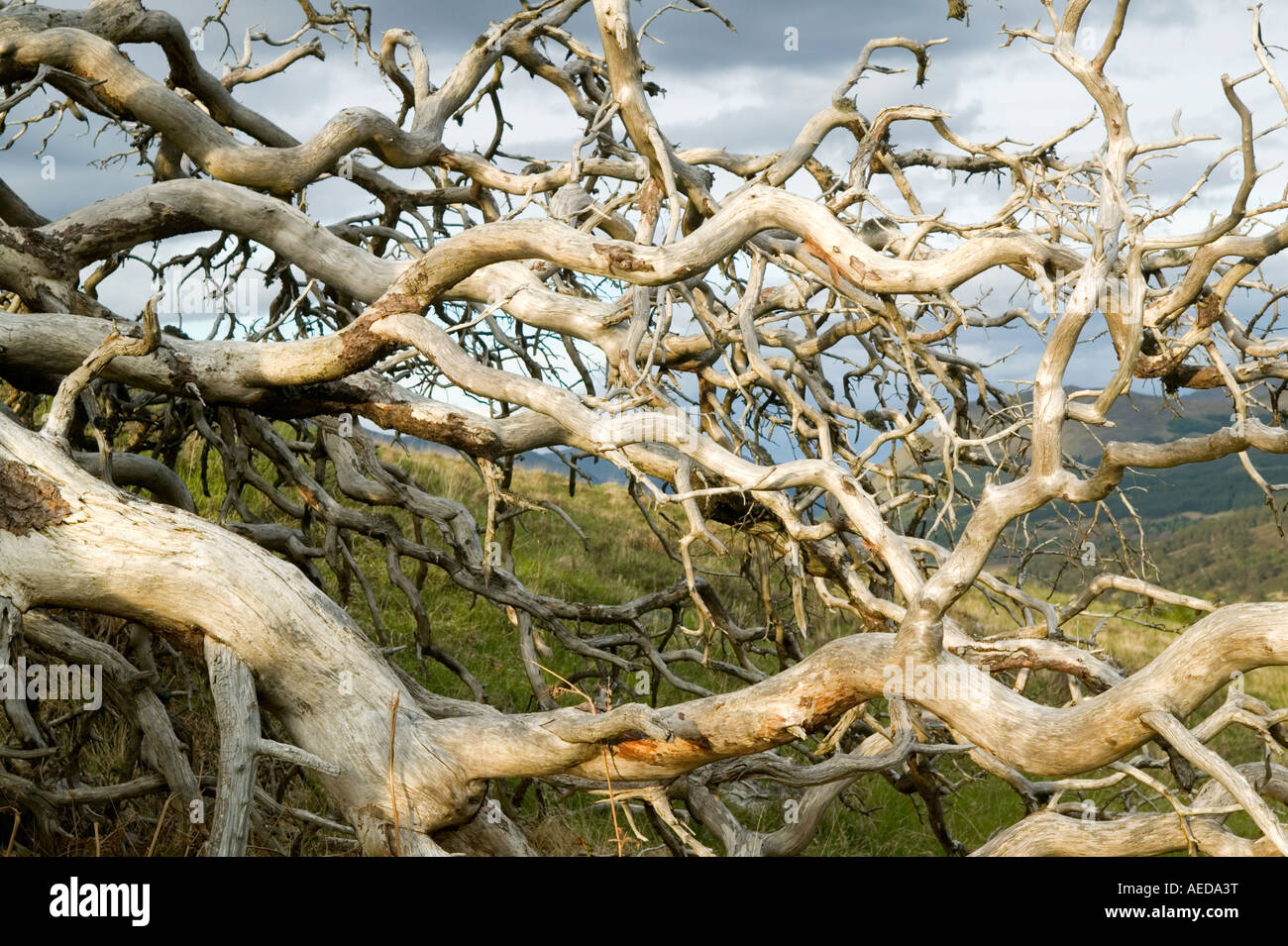 the roots and trunk of a dead scots pine tree blown over in Glen Lyon Scotland - Stock Image