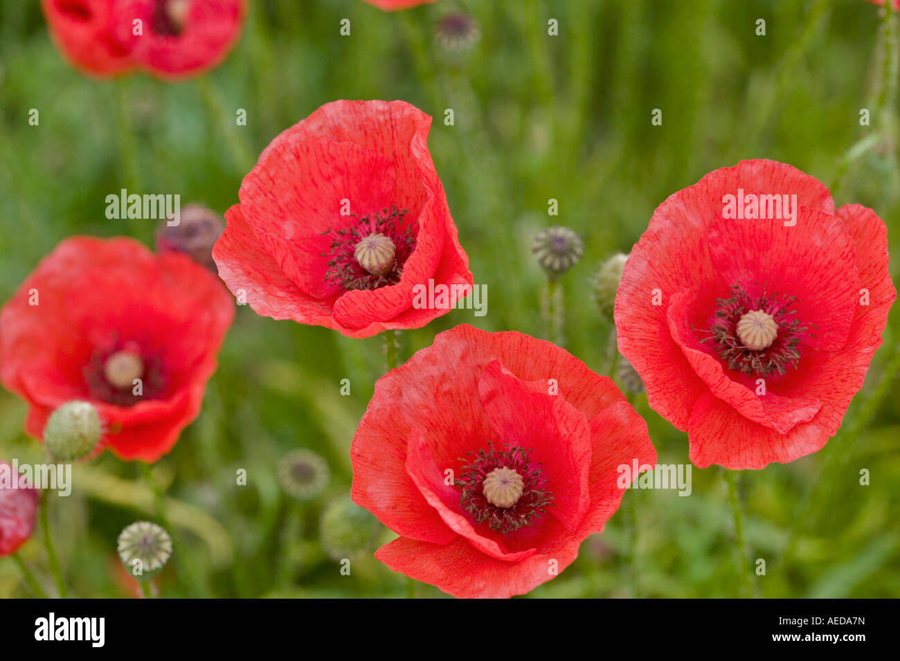 group of red poppy flowers in an english meadow - Stock Image