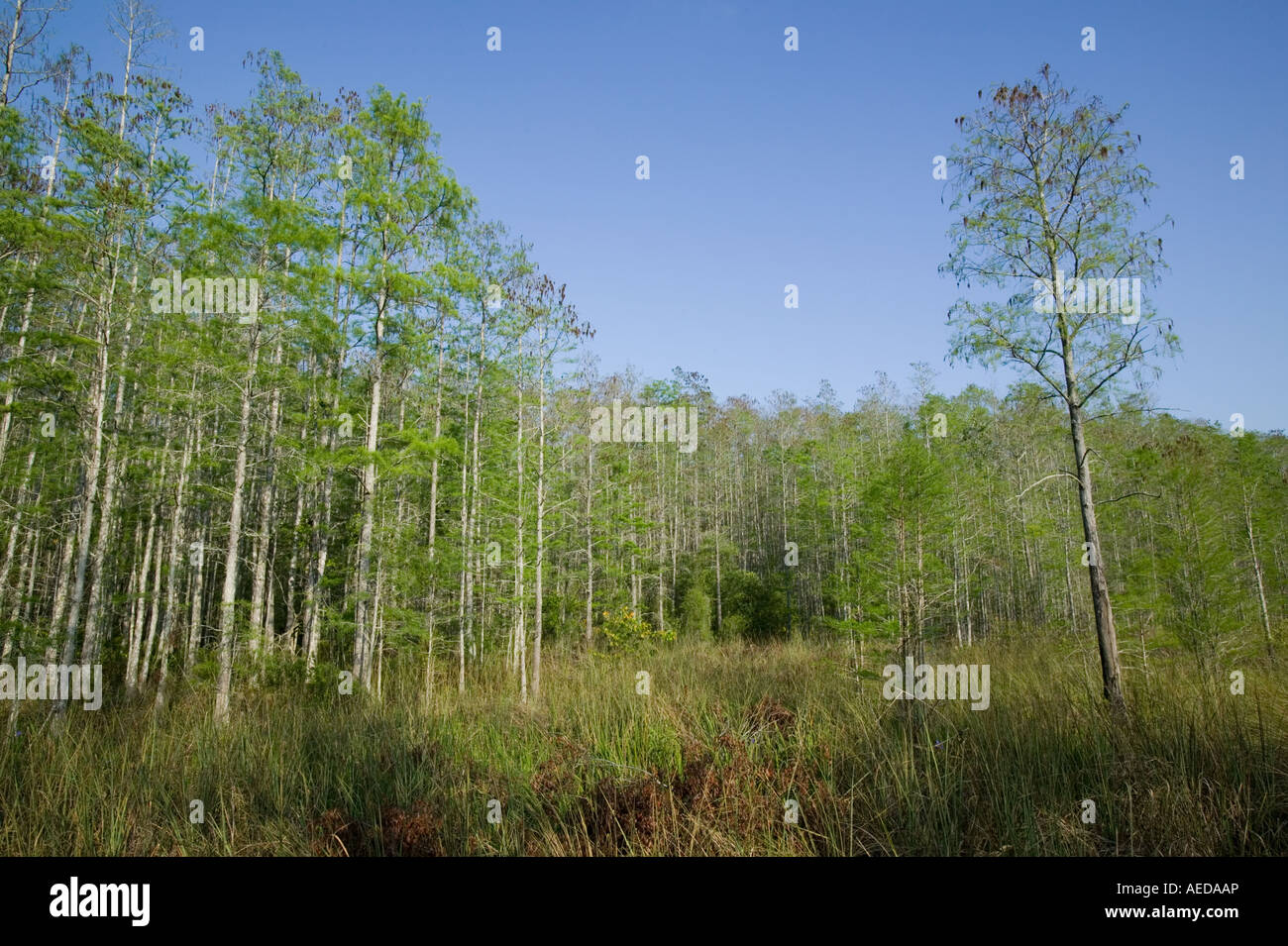swamp cypress forest near Naples Florida USA - Stock Image