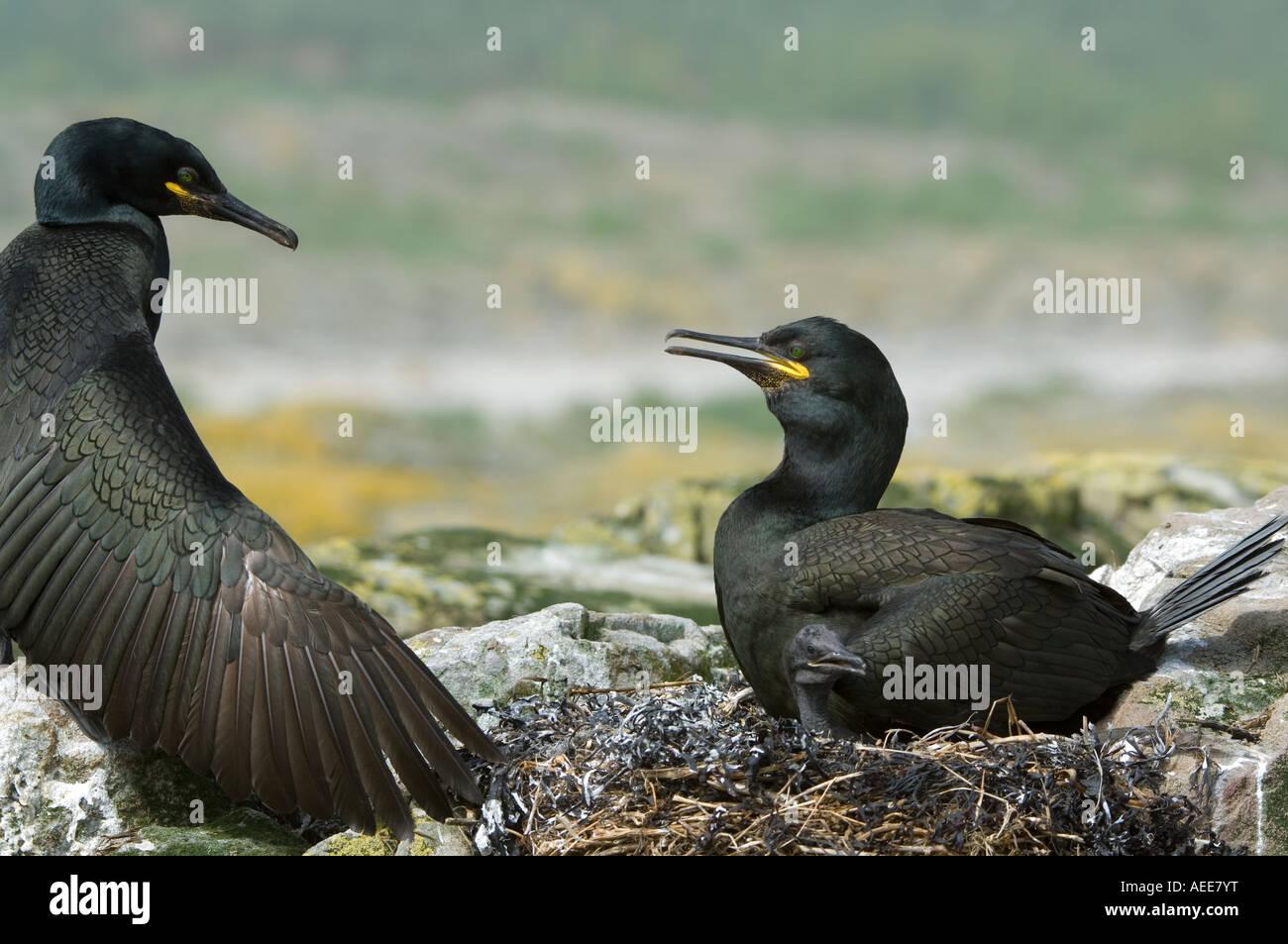 European Shag (Phalacrocorax aristotelis) pair at the nest Farne Islands Northumberland England June - Stock Image