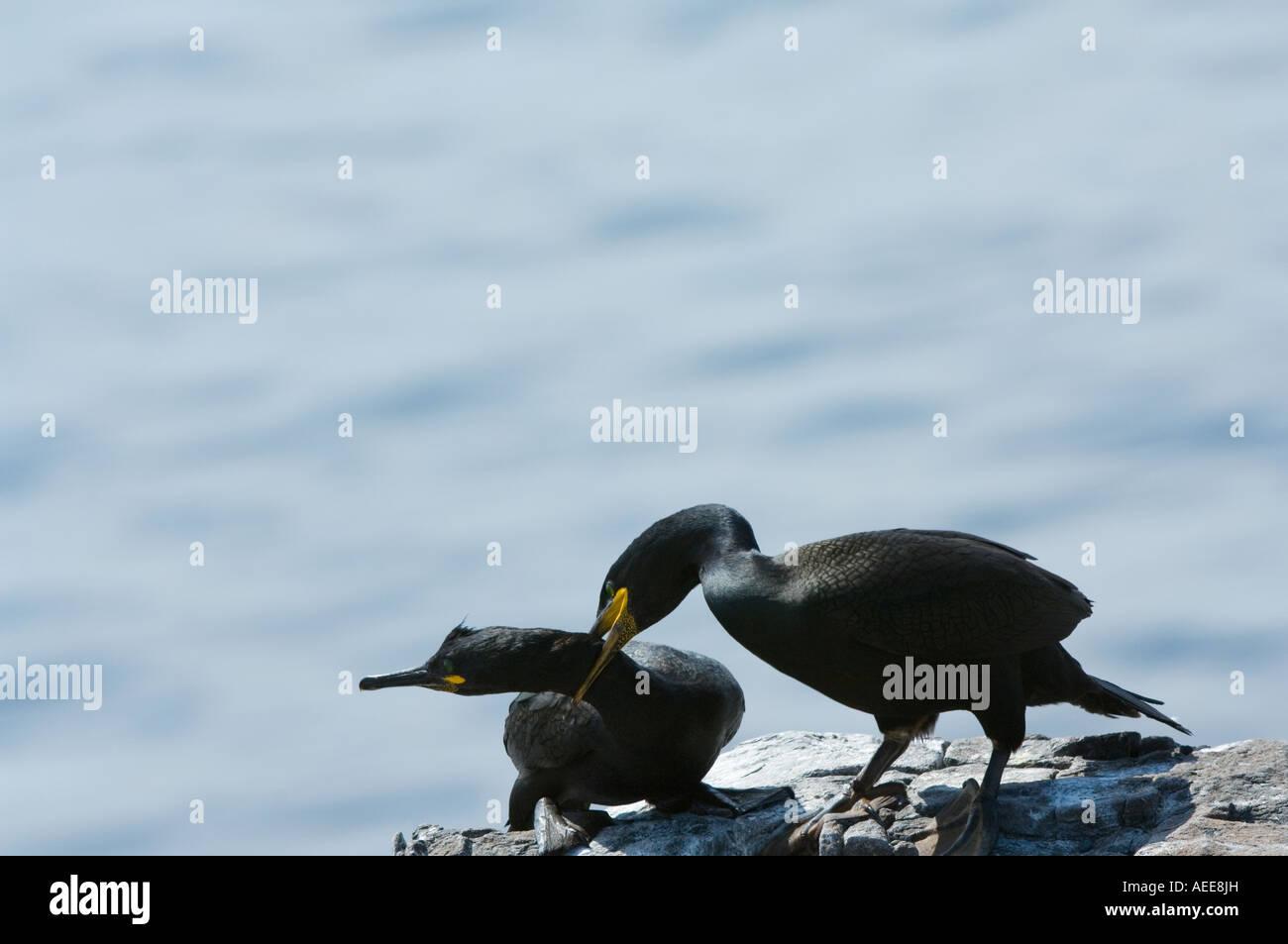 European Shag Phalacrocorax aristotelis adult attacks intruder Farne Islands Northumberland England June - Stock Image