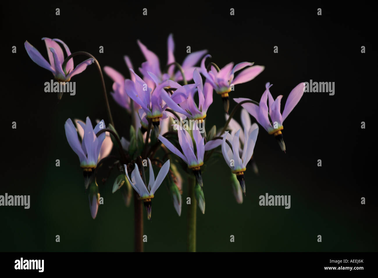 shooting star flower dodecatheon meadia in the spring evening light northern illinois prairie - Stock Image