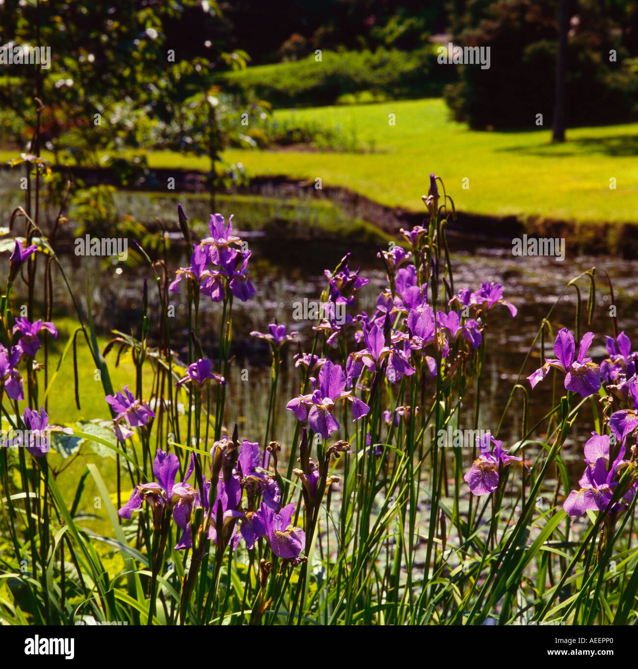 Picture of iris flowers stock photos picture of iris flowers stock purple iris flowers infront of a pond in a garden on a sunny day stock izmirmasajfo