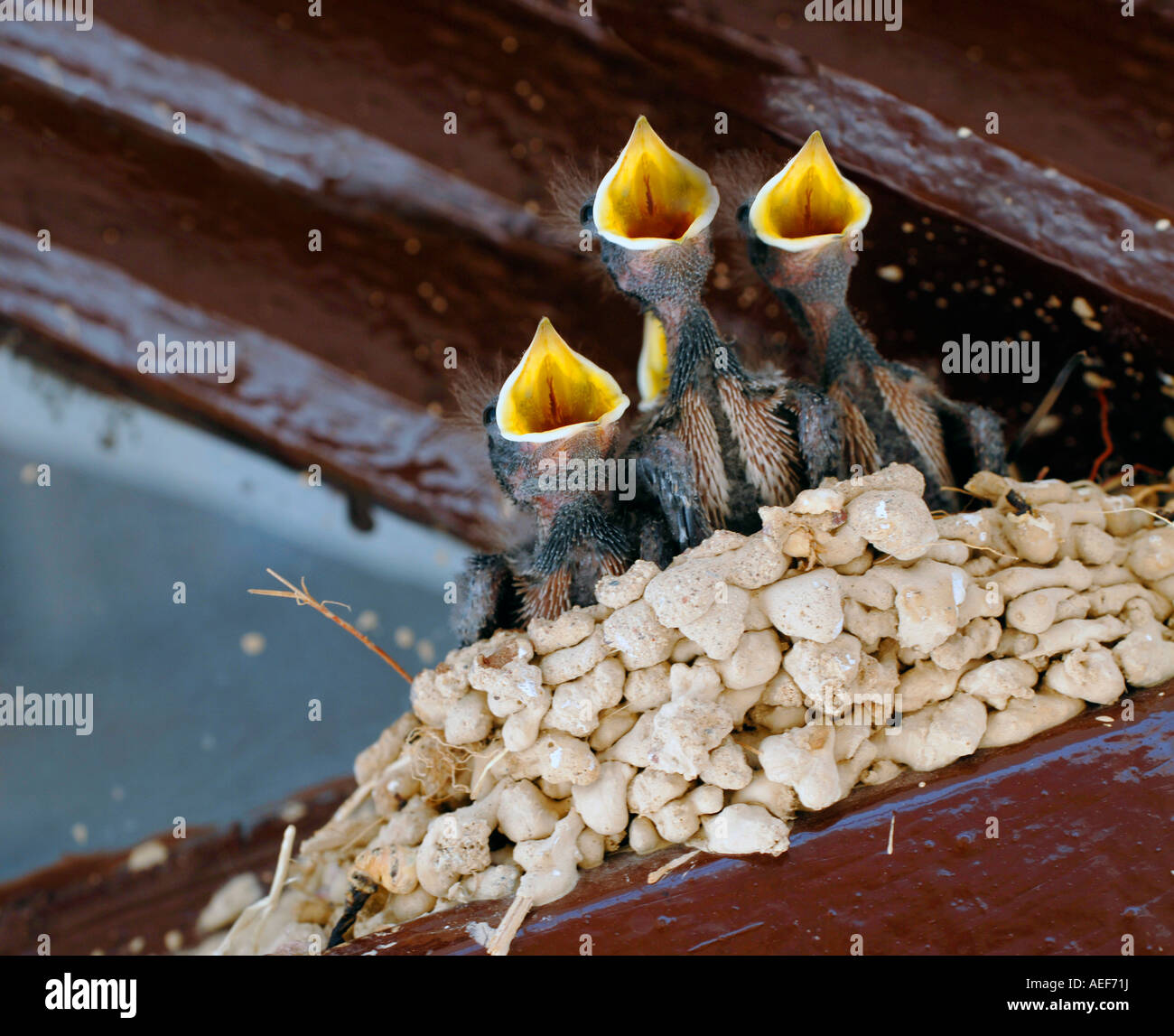 Small baby birds in a nest chirping to be fed with gaping beaks - Stock Image