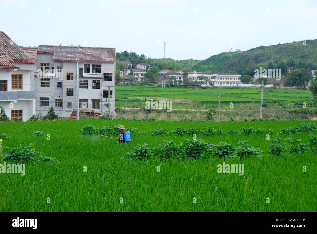 A rice farmer spraying in rice fields in a small village, in the