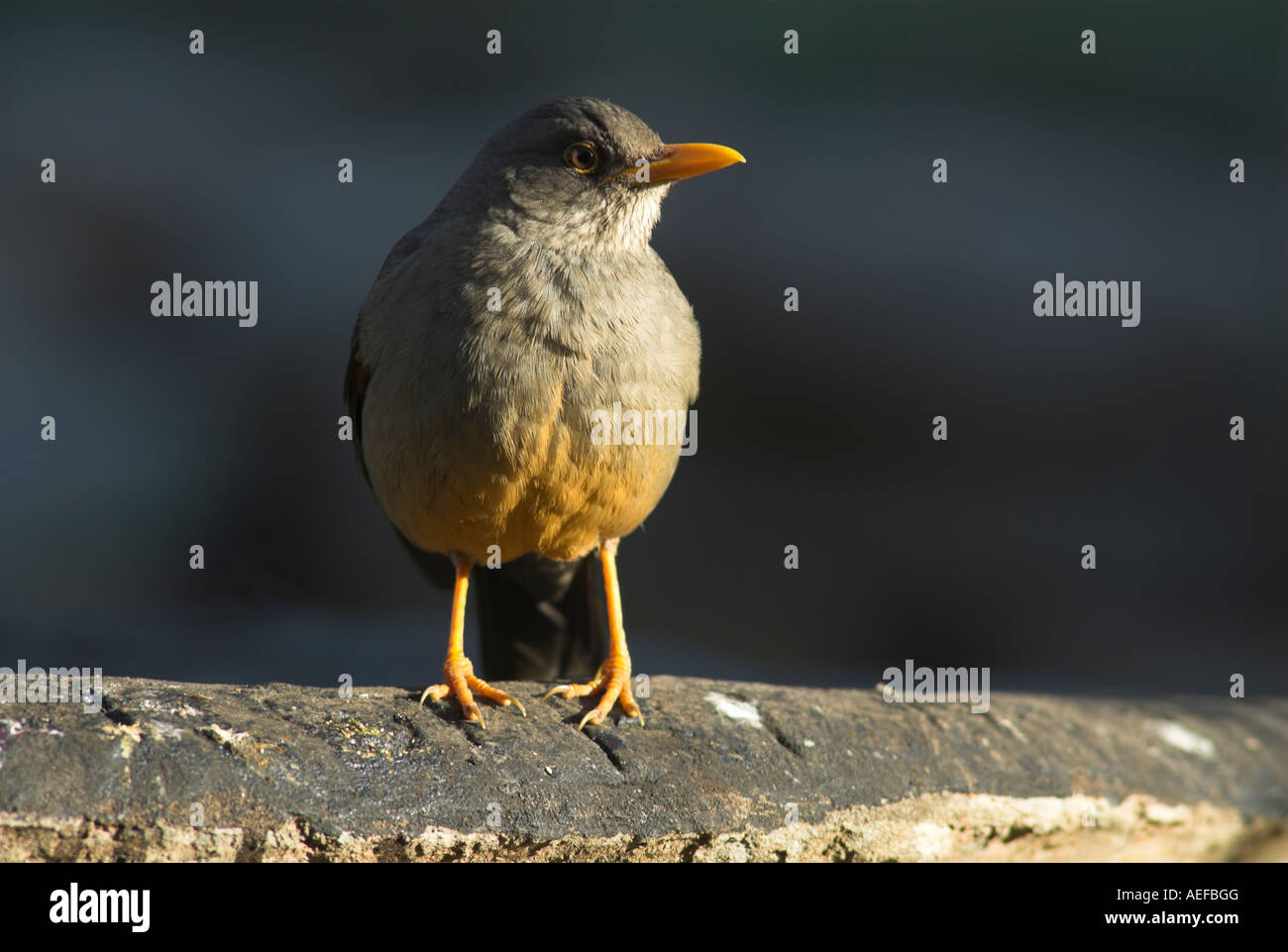Olive Thrush (Turdus olivaceus) perched on a plank of wood Stock Photo