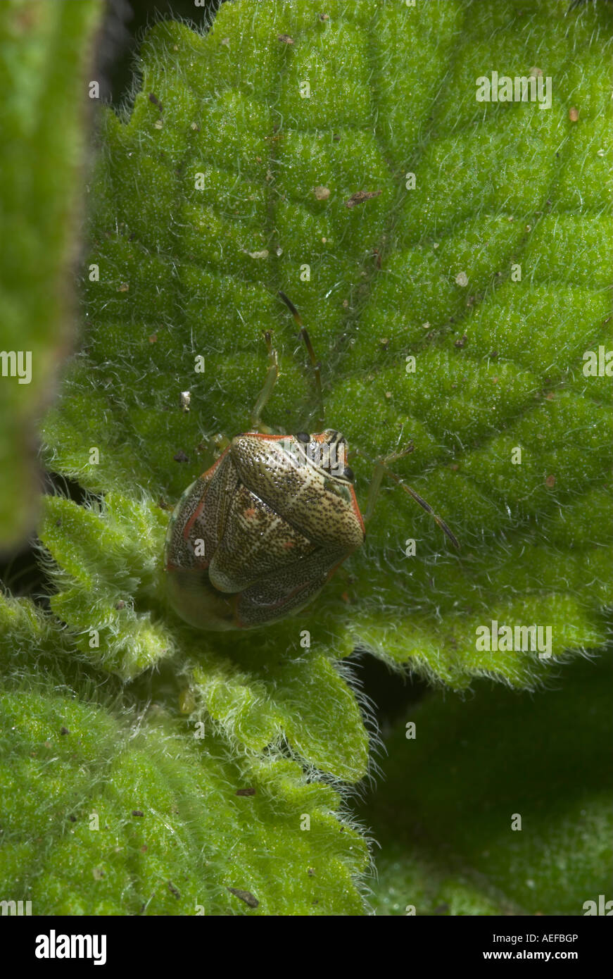 Brown marmorated stink bug on a furry green leaf. Grahamstown, Eastern Cape, South Africa Stock Photo