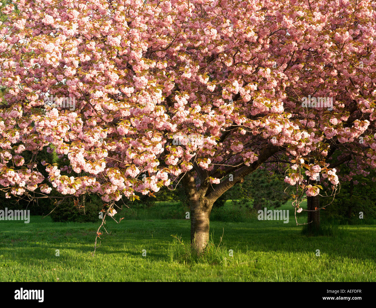 Canada Ontario Niagara Falls School of Horticulture Japanese Flowering Cherry tree in bloom Prunus Serrulata family - Stock Image