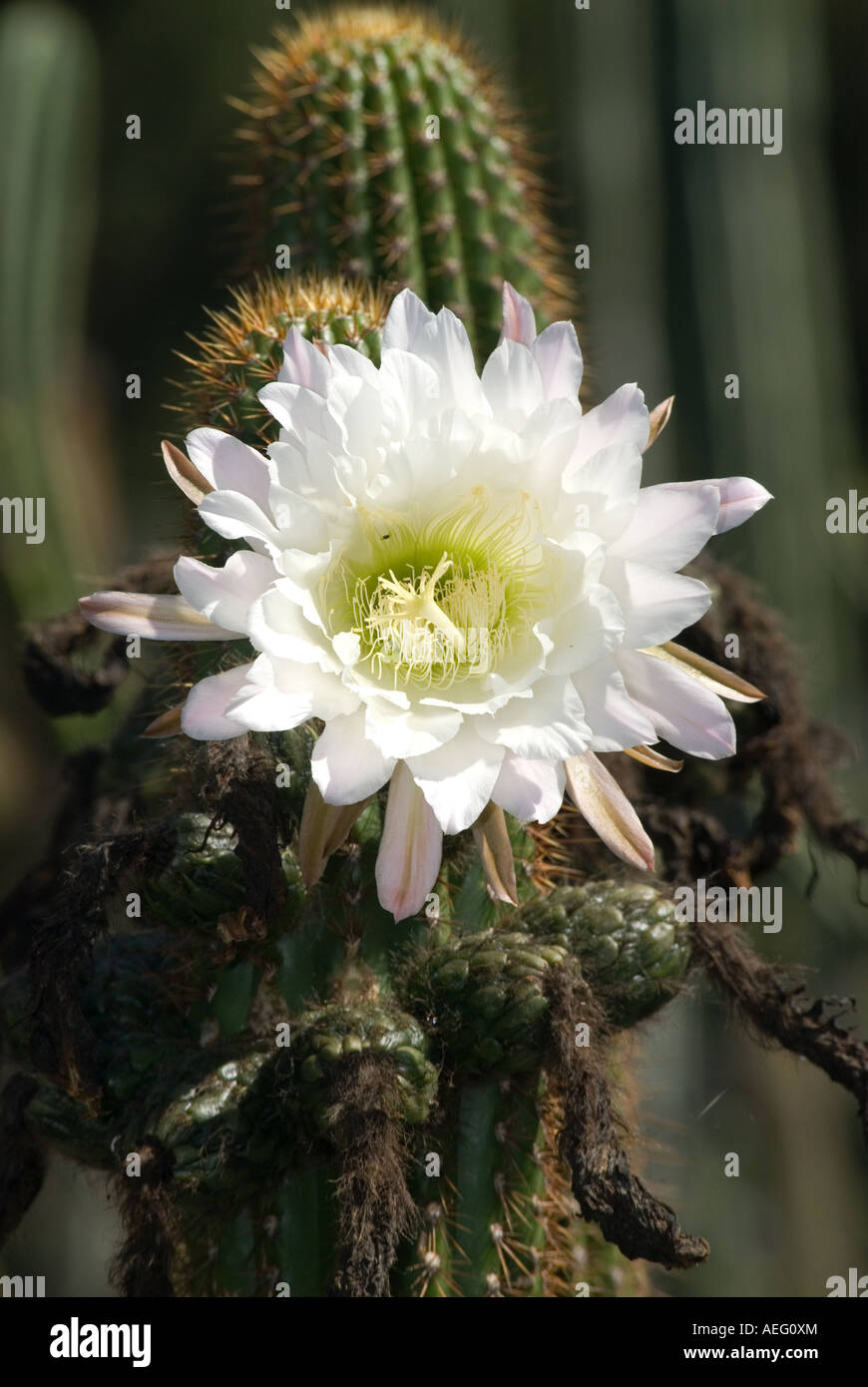 White Cactus Flower Bloom Stock Photo 13673275 Alamy