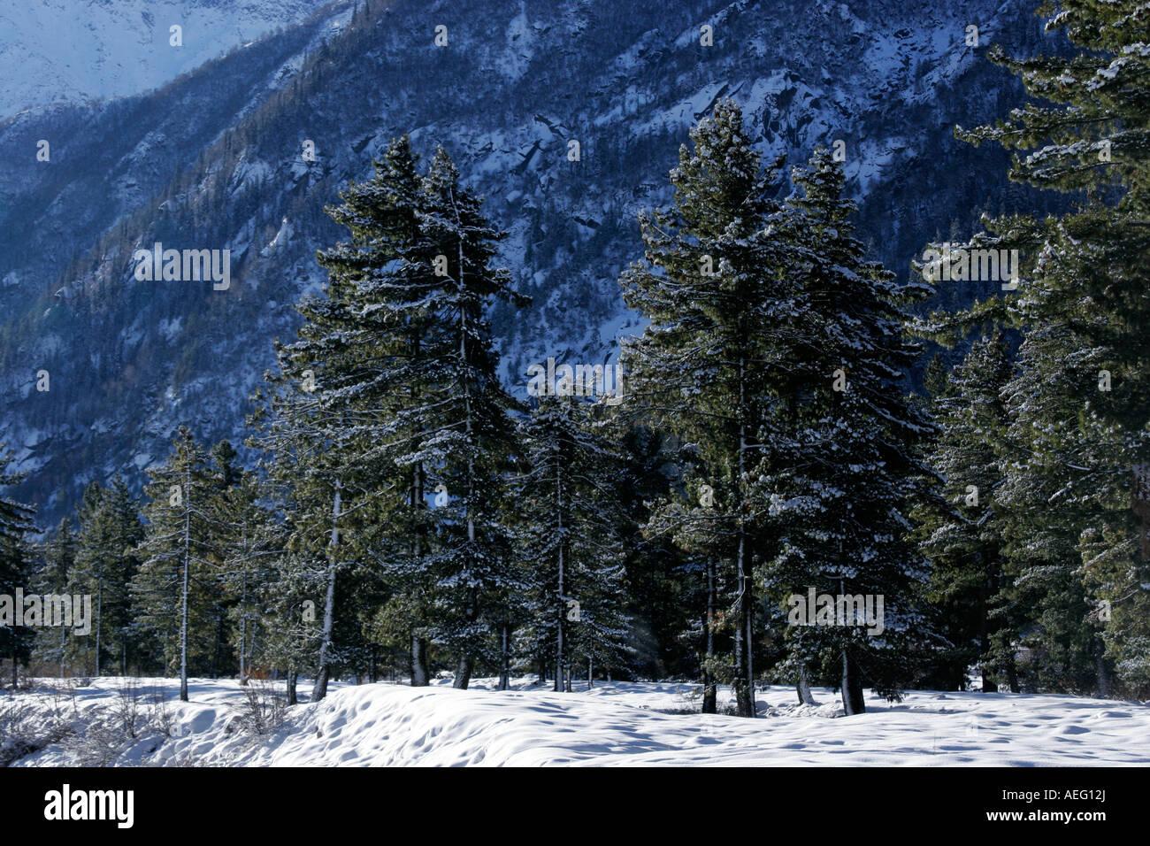 View of pine trees during winter season in village Rakcham