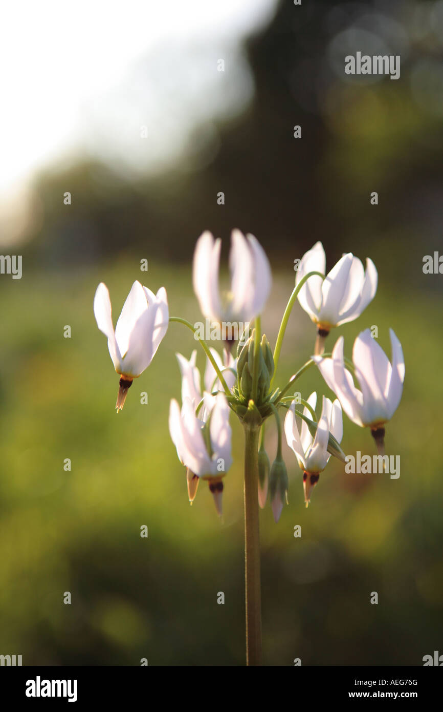 shooting star flower dodecatheon meadia northern illinois prairie - Stock Image