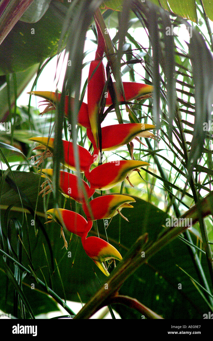 Sweet Home Garden Yard Plant Beautiful Beauty Hanging Red Inflorescence Ornamental Tropical Decorative Natural Decoration Trees