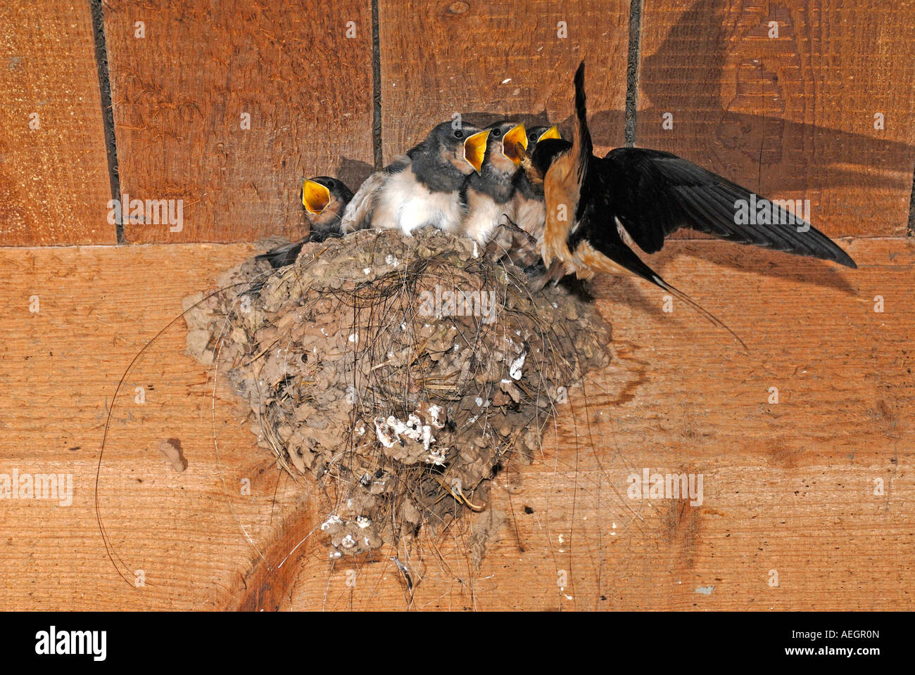 Barn Swallow (Hirundo rustica), adult feeding begging chicks at nest - Stock Image