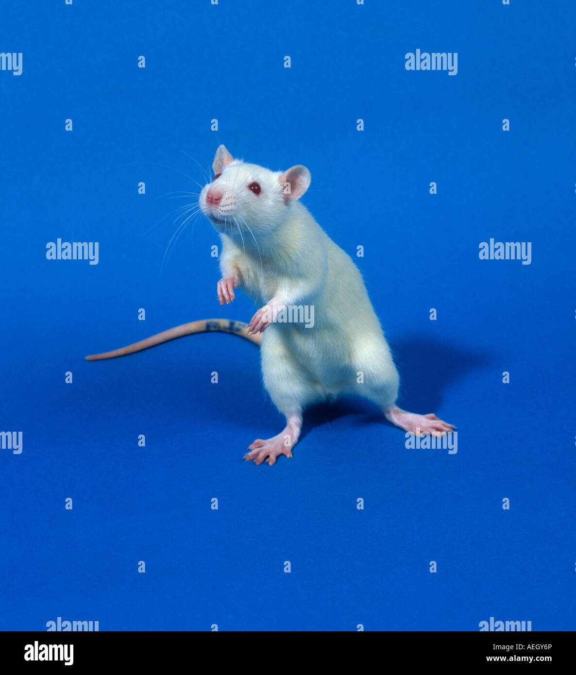 White laboratory rat Sprague Dawley for animal testing toxicology studies - Stock Image