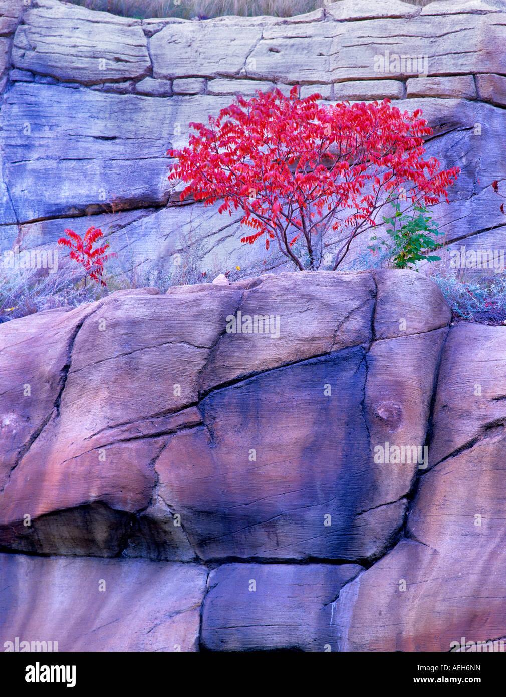 Fall colored sumac Red Rock Secret Mountain Wilderness Arizona - Stock Image