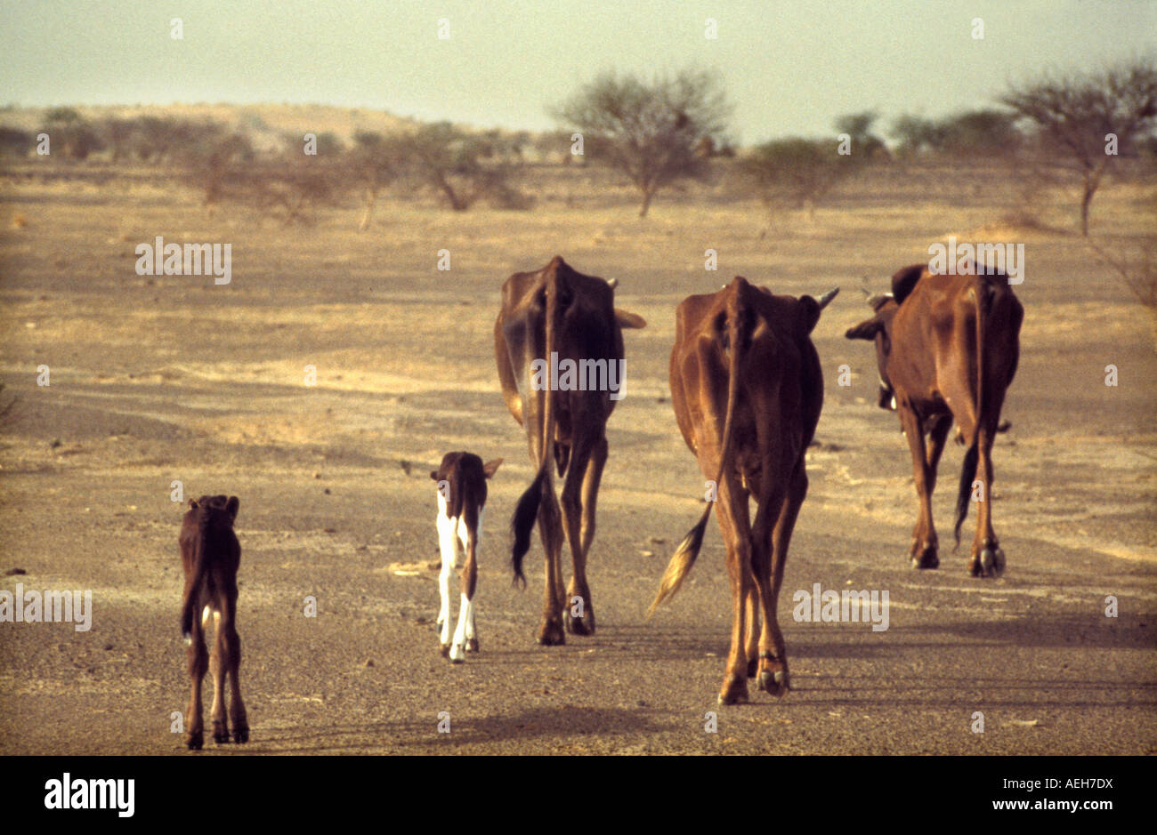 Mali Gao Cattle in Sahel, Cows during Drought of 1984 and 1985 - Stock Image