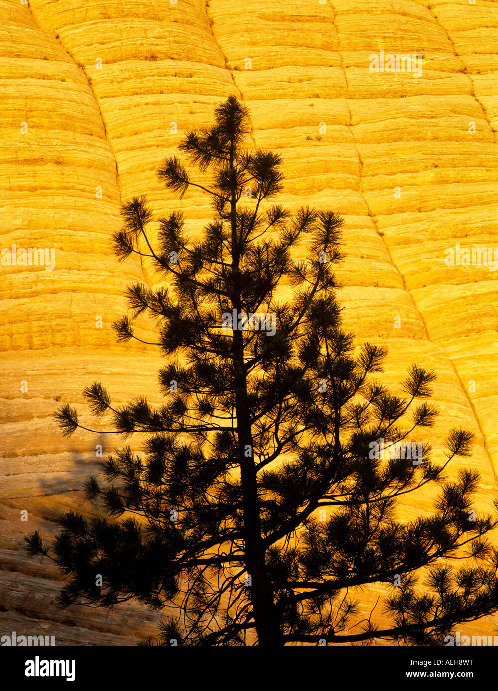 Closeup of Checkerboard Mesa with silhouetted tree Zion National Park Utah - Stock Image