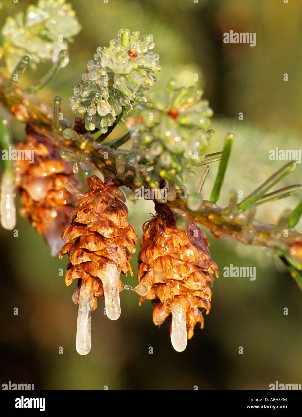 Douglas Fir cones with ice Monroe Oregon - Stock Image