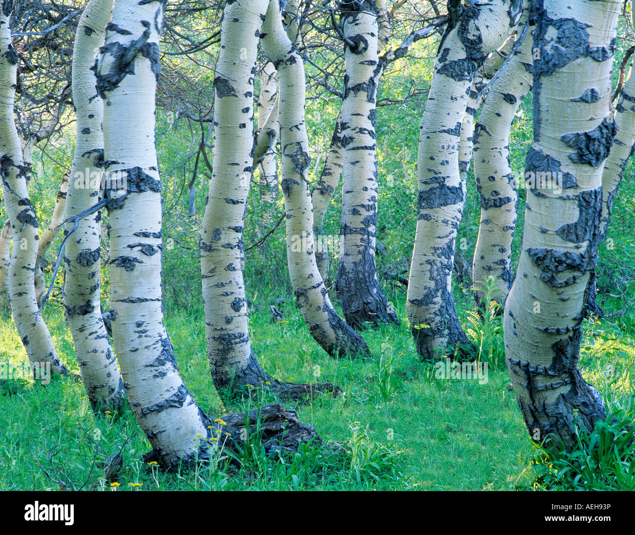 Twisted Aspen trunks in Steens Mountain Oregon - Stock Image