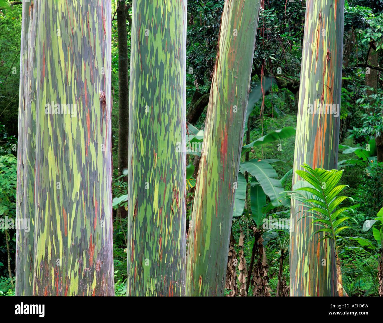 painted eucalyptus tree stock photos painted eucalyptus tree stock