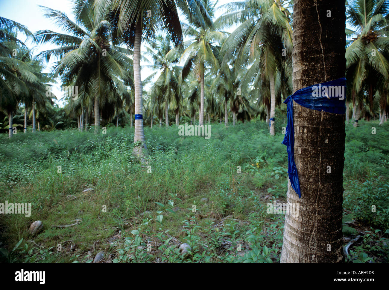 Site of nuclear testing grounds at Bikini Atoll palm trees tested for caesium 137 uptake by Matt Harris - Stock Image