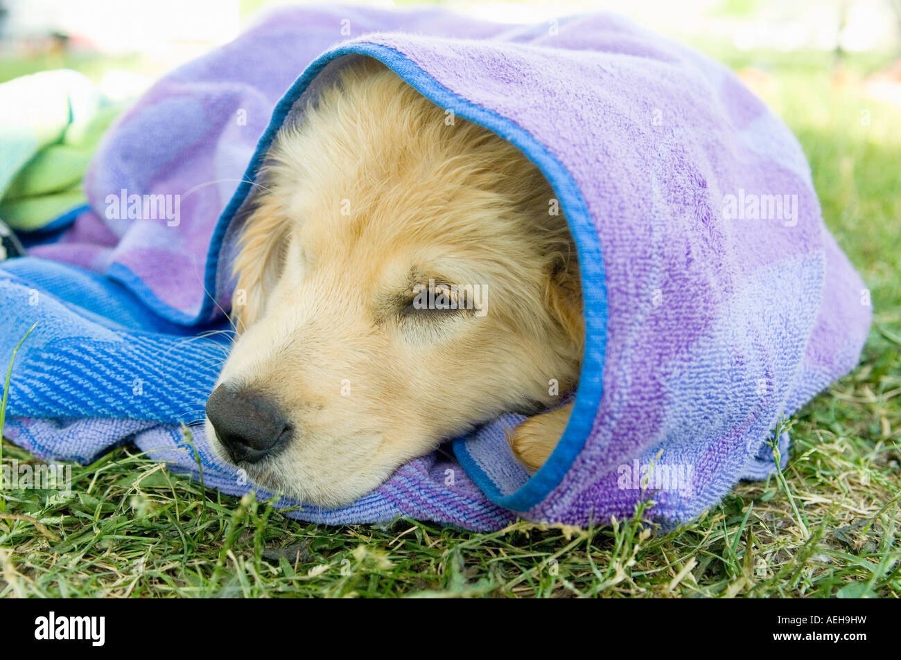 A puppy sleeping wrapped up in a beach towel. - Stock Image