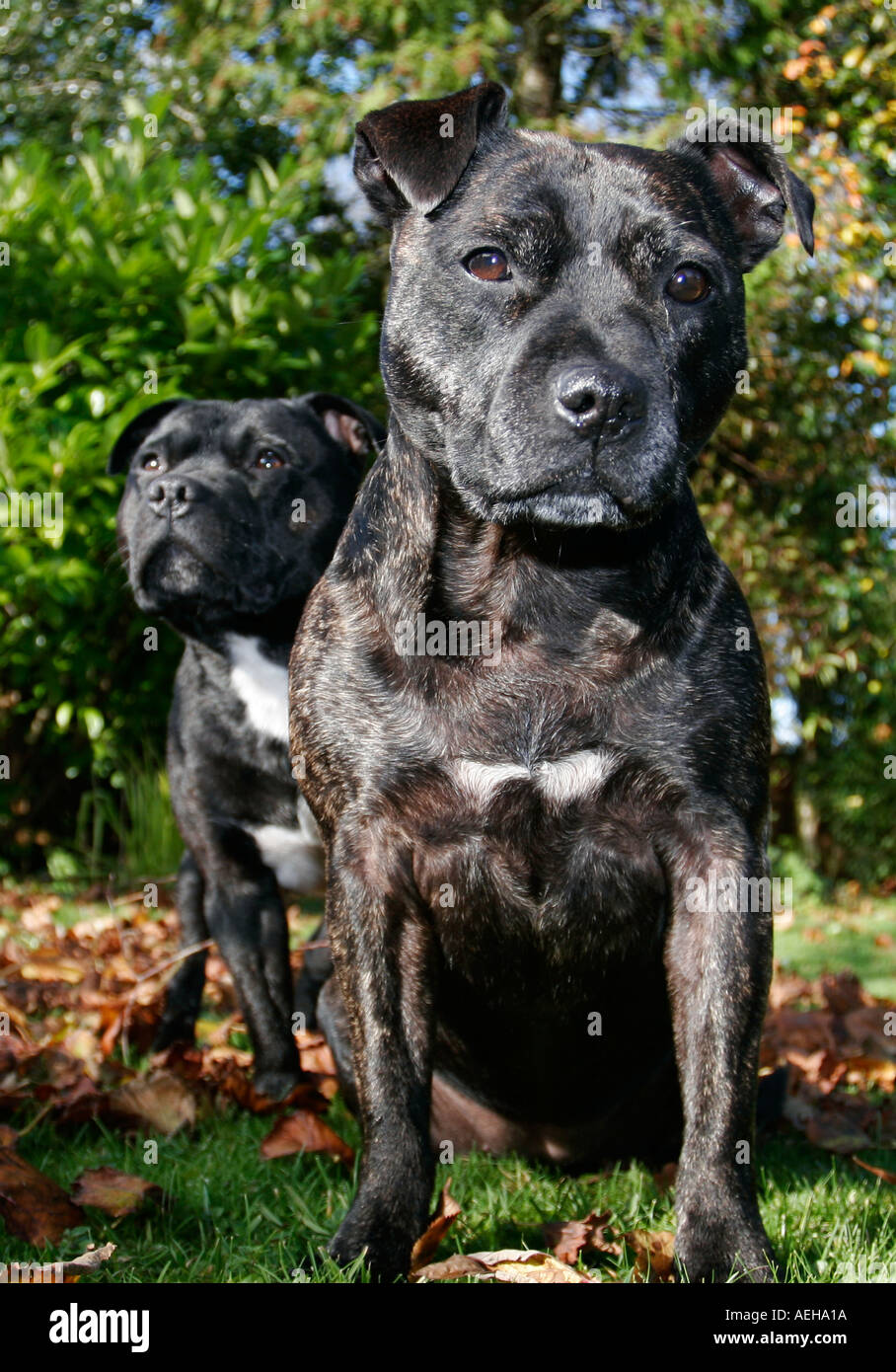 Staffordshire Bull Terriers - Stock Image