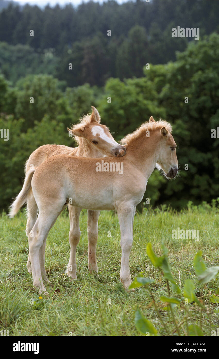 Finnish horse - two foals smoothing Stock Photo