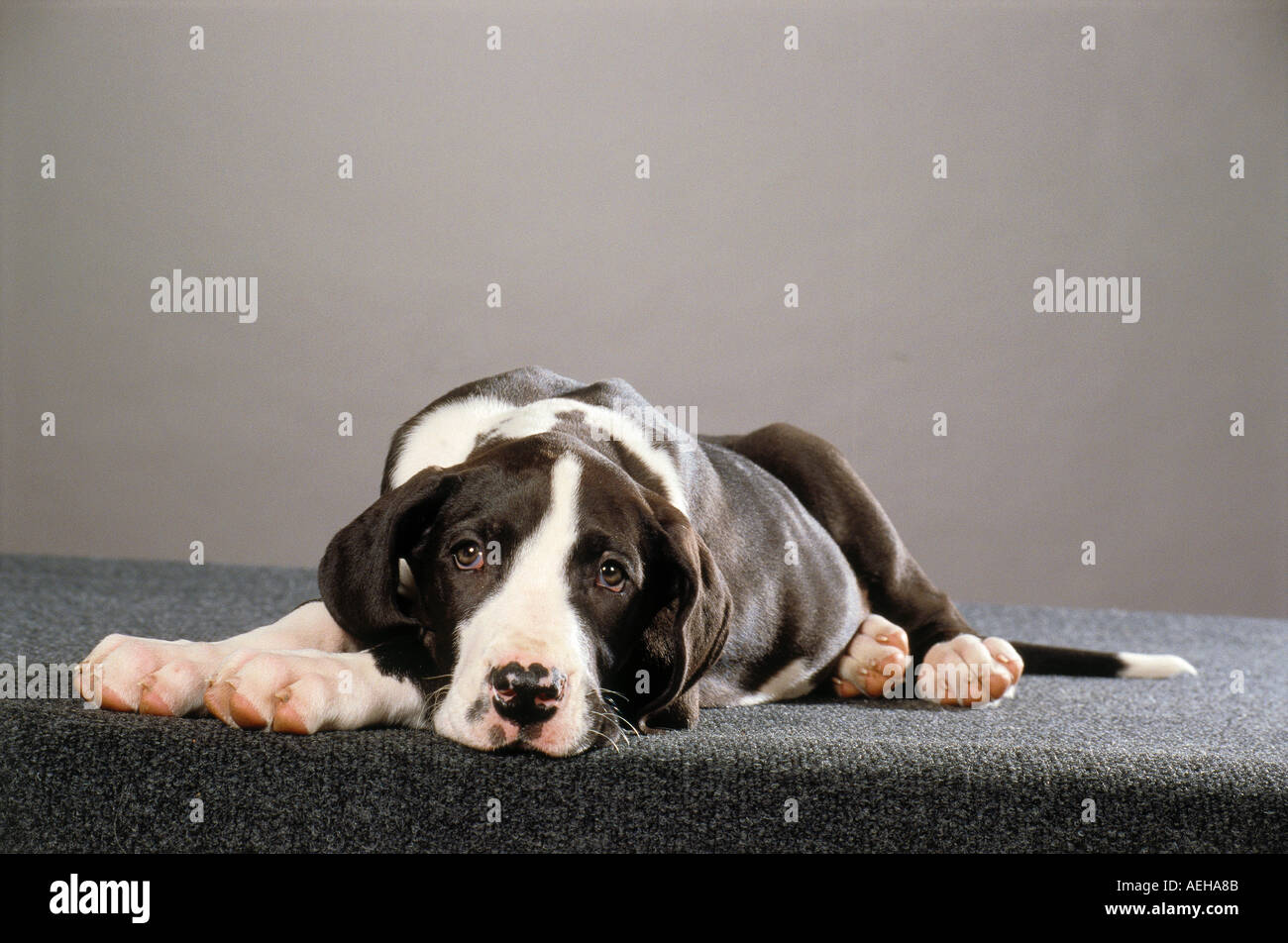 Great Dane - puppy - cut out - Stock Image