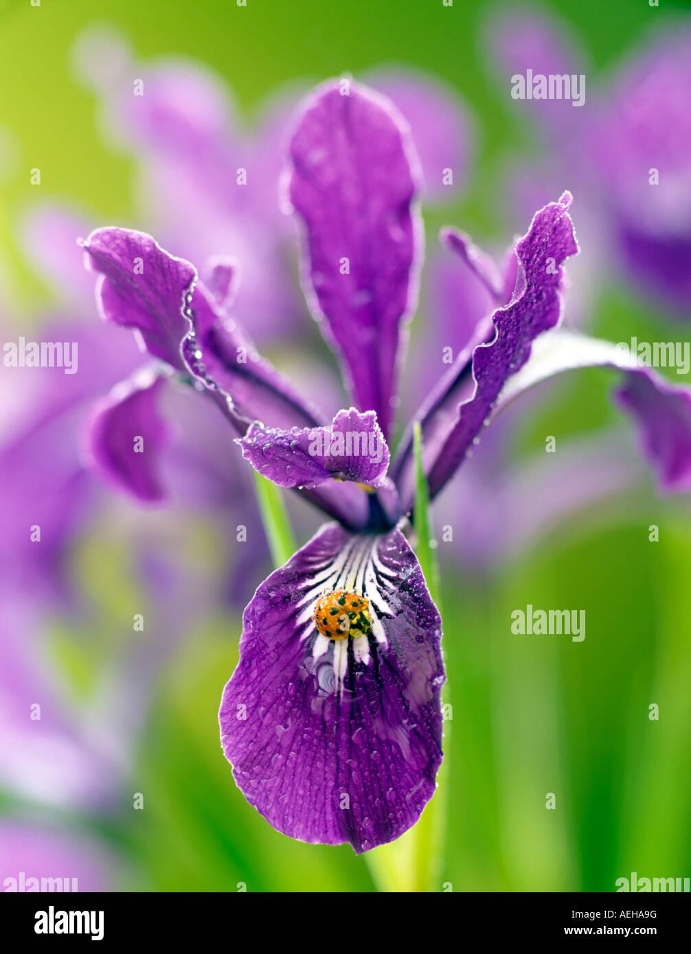 Wild Iris Iris tenax with lagy bug and dew Near Alpine Oregon - Stock Image