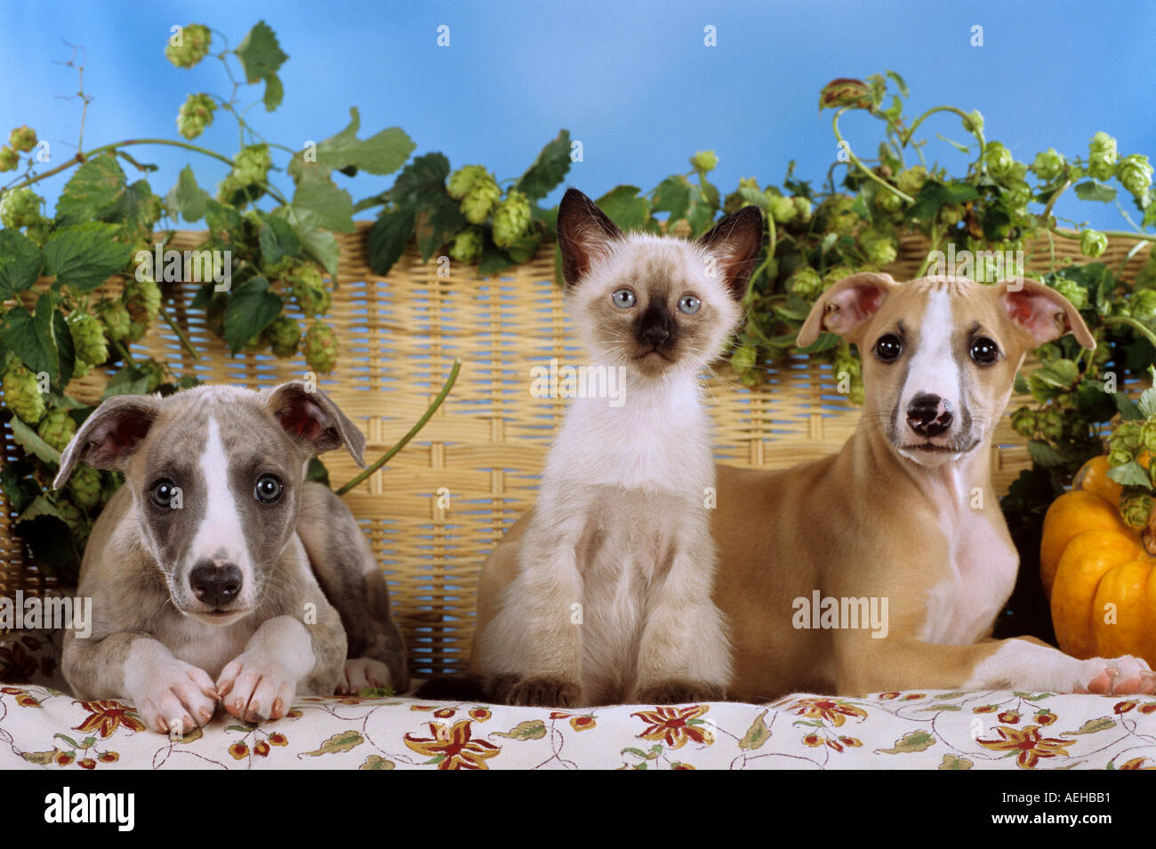 animal-friendship: young Siamese cat sitting between two Whippet dogs - puppies Stock Photo