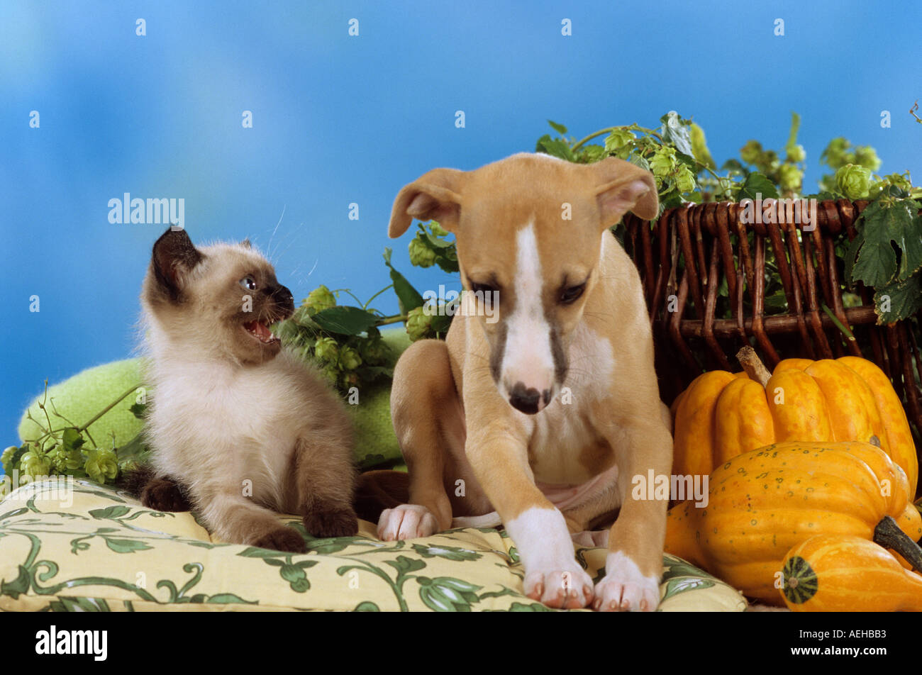 young Siamese cat snarling at a Whippet dog - puppy - Stock Image