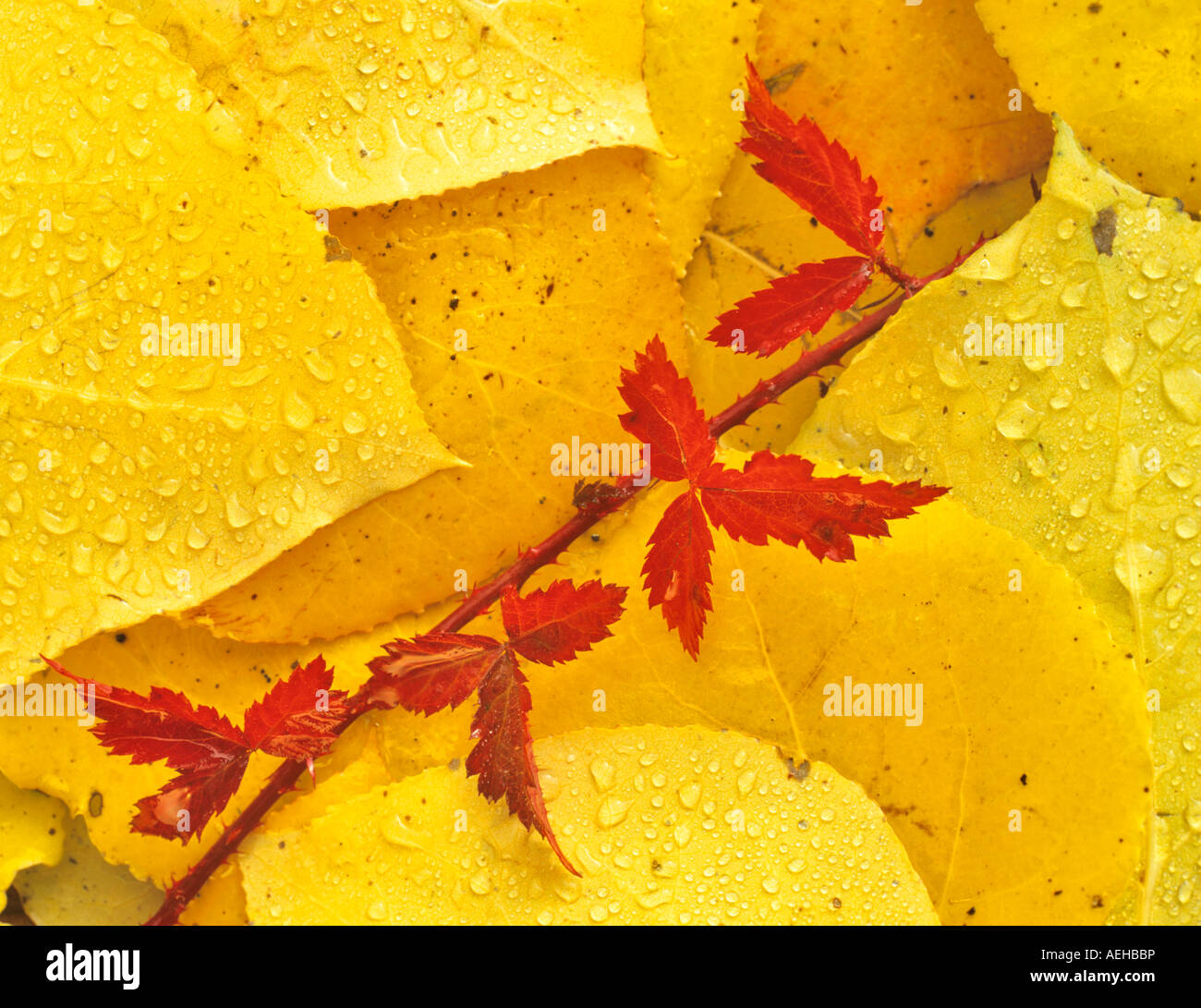 Blackberry vine in fall color in aspen leaves Near Alpine OR - Stock Image