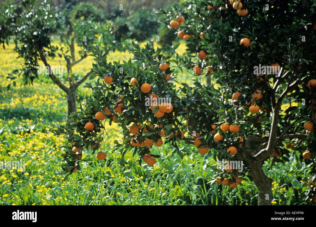 Oranges on orange tree in orange grove with yellow wild flowers oranges on orange tree in orange grove with yellow wild flowers spain mightylinksfo