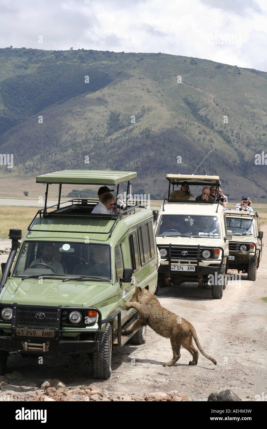 Lion Cub And Safari Tourist Vehicle In Ngorongoro Crater Ngorongoro