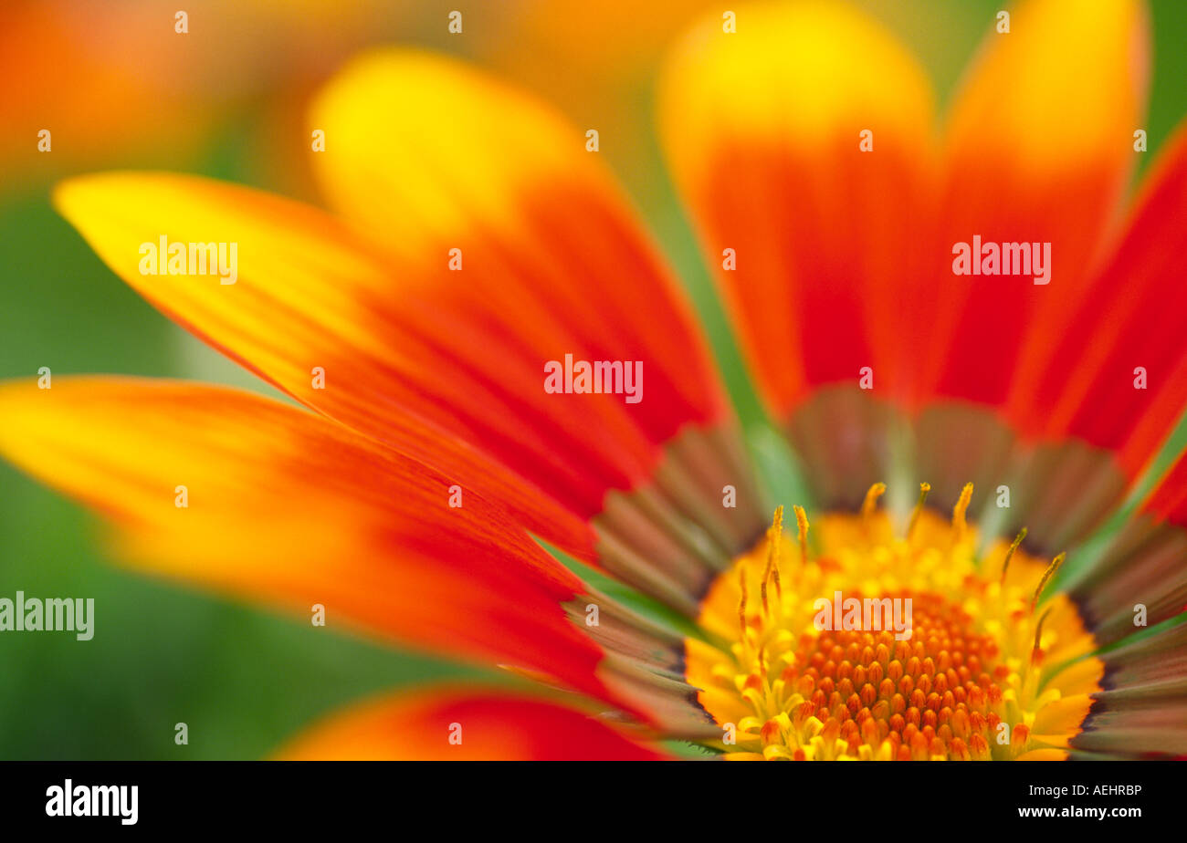 Garden flowers Gazania Talent Compositae Asteraceae a vigorous perennial with highly ornamented leaves Scotland - Stock Image
